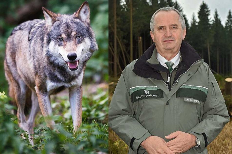 Der Wolf wird jetzt Chefsache in Sachsen: Eigene Landesstelle gegründet