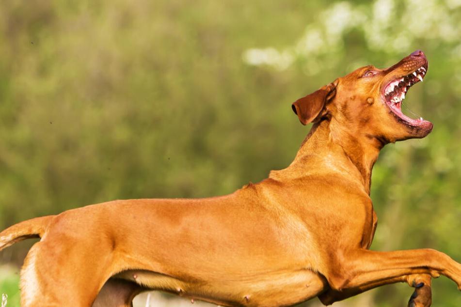 Aggro-Hund zerfleischt Frauenbein: Polizei fahndet nach Halterin