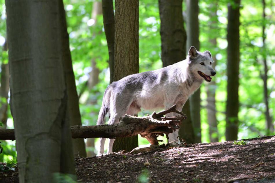 Wie dieser Wolf, sollen auch die Wolfs-Hybriden im Bärenpark in Worbis untergebracht werden.