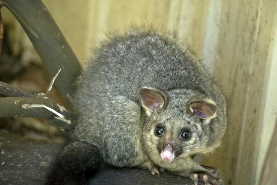 War es ein Opossum?