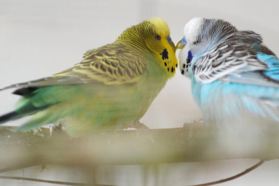 Wegen der Vogelgrippe müssen Wellensittiche im Zoogeschäft bleiben. (Symbolbild)
