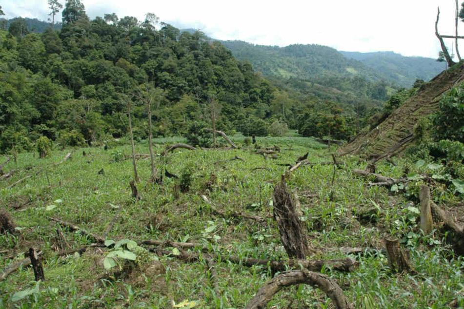 Die Abholzung des Regenwaldes ist einer der Hauptgründe für den starken Rückgang der Bestände an wild lebenden Orang-Utans.