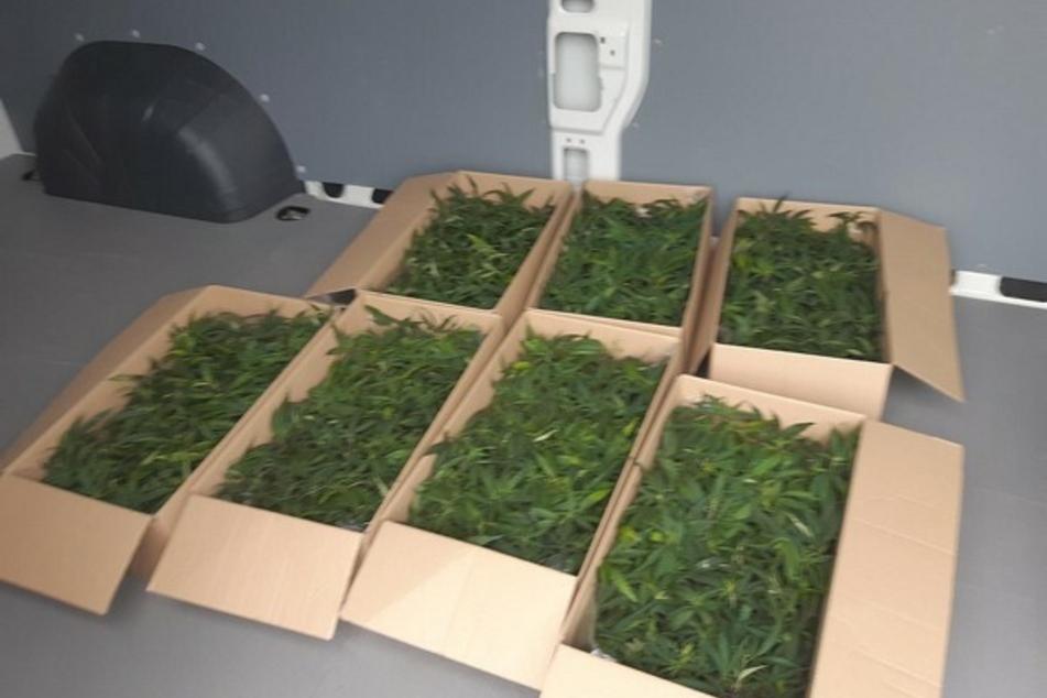Die in Pappkartons gelagerten Hanf-Pflanzen stammen aus dem Kleintransporter zweier Männer, die bei ihrer Einreise nach Deutschland von der Polizei gestoppt wurden.