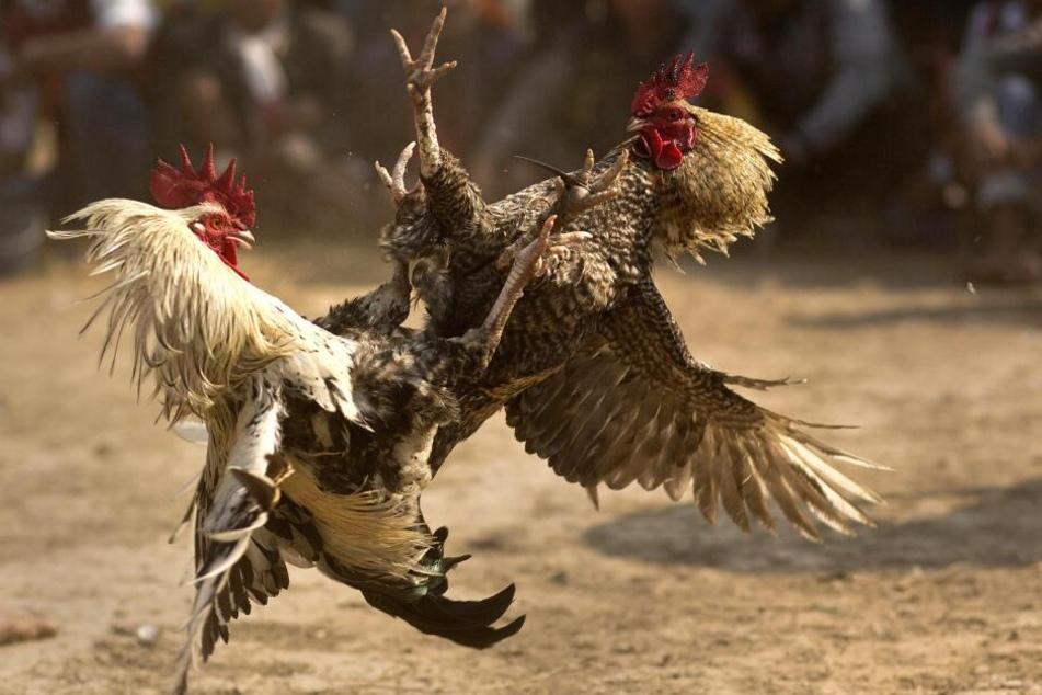 Ein Hahnenkampf in Indien während der Feierlichkeiten zum Jonbeel Fest. (Archivbild)
