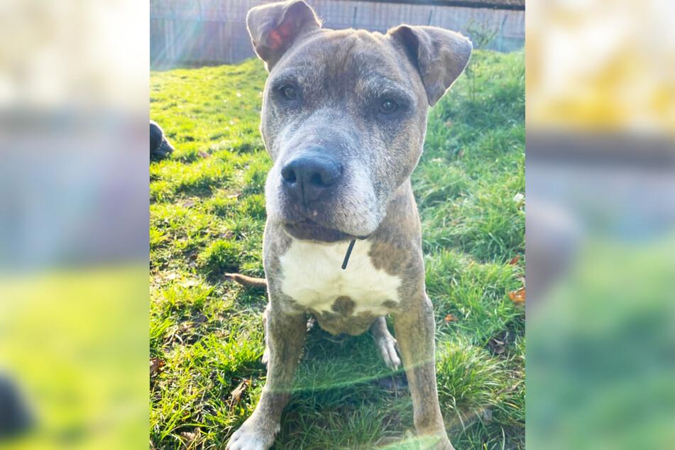 """Der American-Staffordshire-Terrier-Mischling """"Alfi"""" ist im Alter von 13 Jahren gestorben im Tierheim Süderstraße in Hamburg gestorben."""