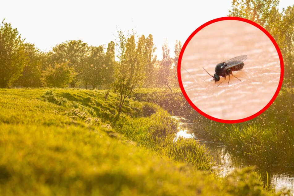 Kriebelmücke: Unterschätzte Gefahr an Flüssen und Bächen