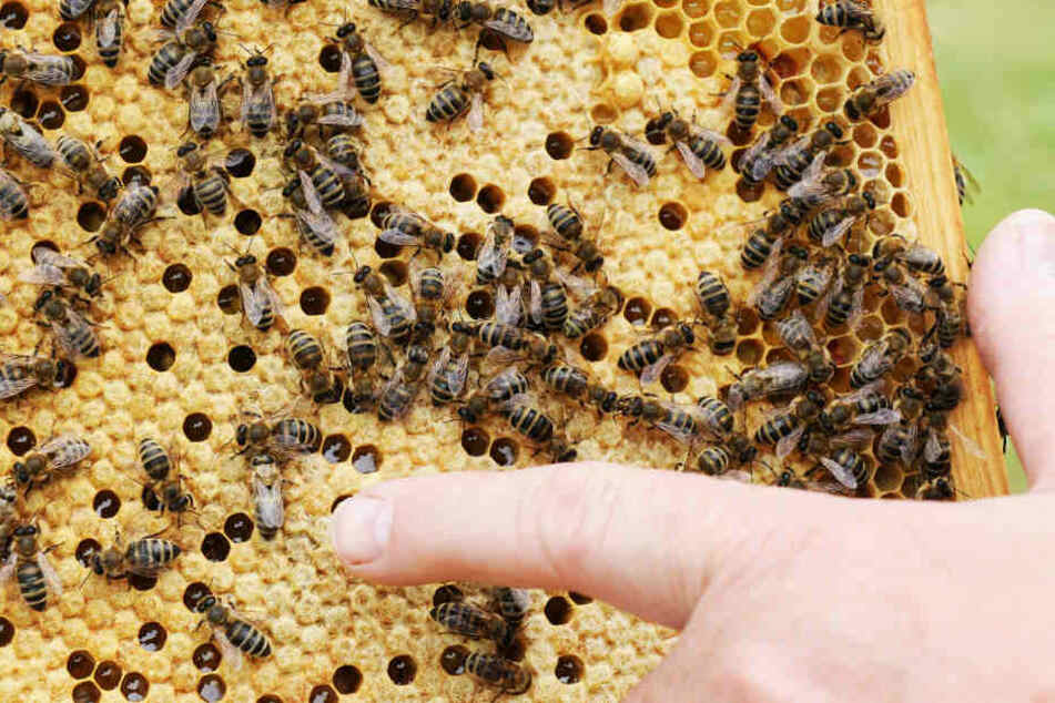 In einem Bienenstand wurde die Seuche nachgewiesen. (Symbolfoto)