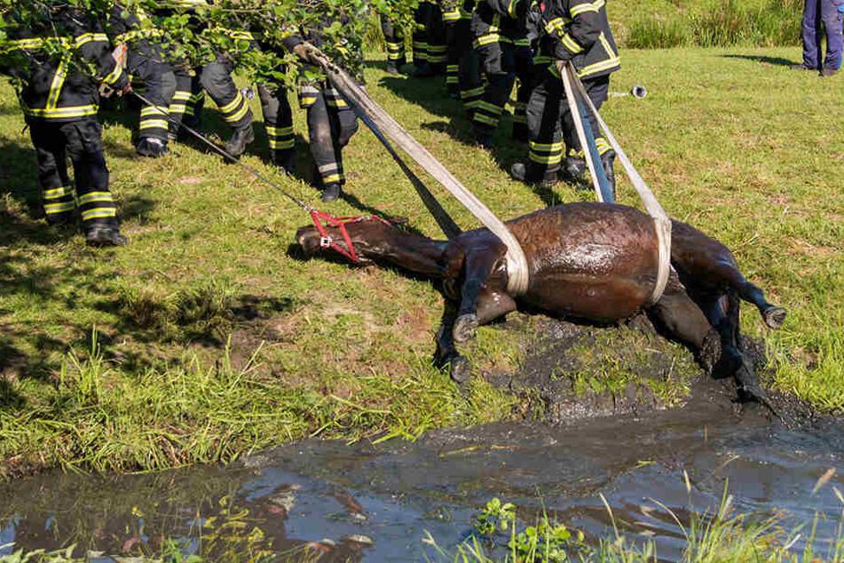 500-Kilo-Hengst muss aus Schlamm gerettet werden