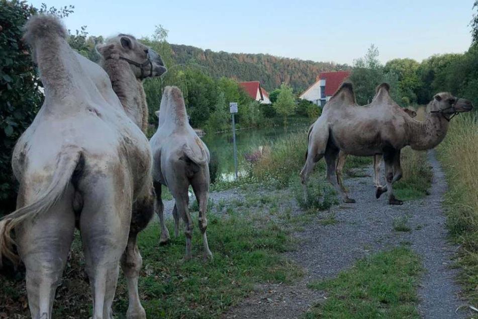 Kamele büxen aus und machen es sich an Straße gemütlich