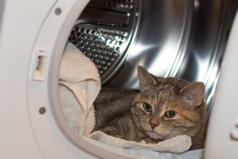 Nicht selten klettern Katzen in Waschtrommel. Sie kuscheln sich dort in Wäsche.