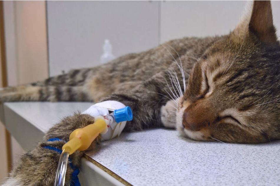 Trauriger Beweis: Deshalb solltest Du Deine Katze impfen, auch wenn sie kein Freigänger ist