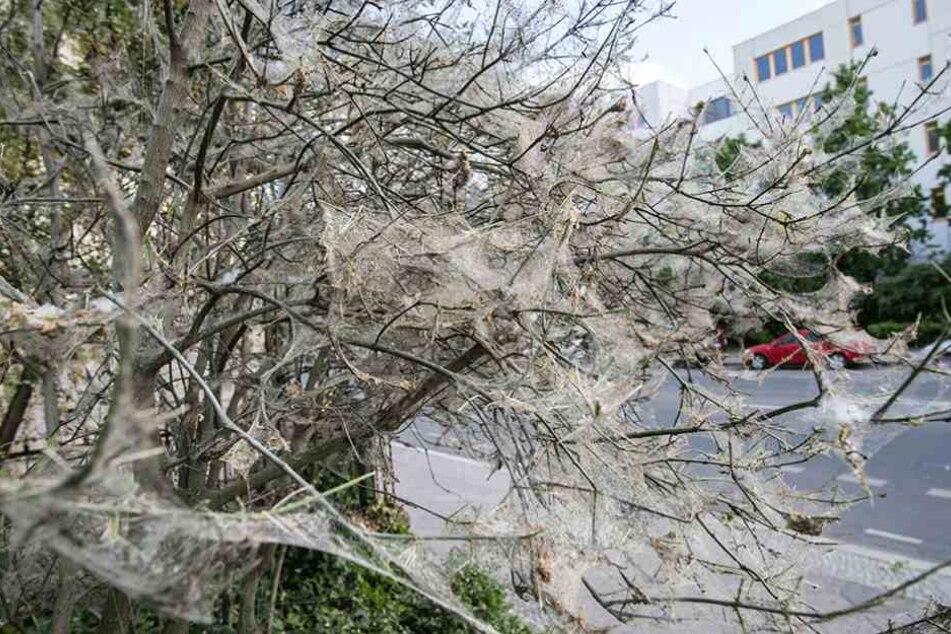 Die Bäume oder Sträucher werden meist komplett eingesponnen.