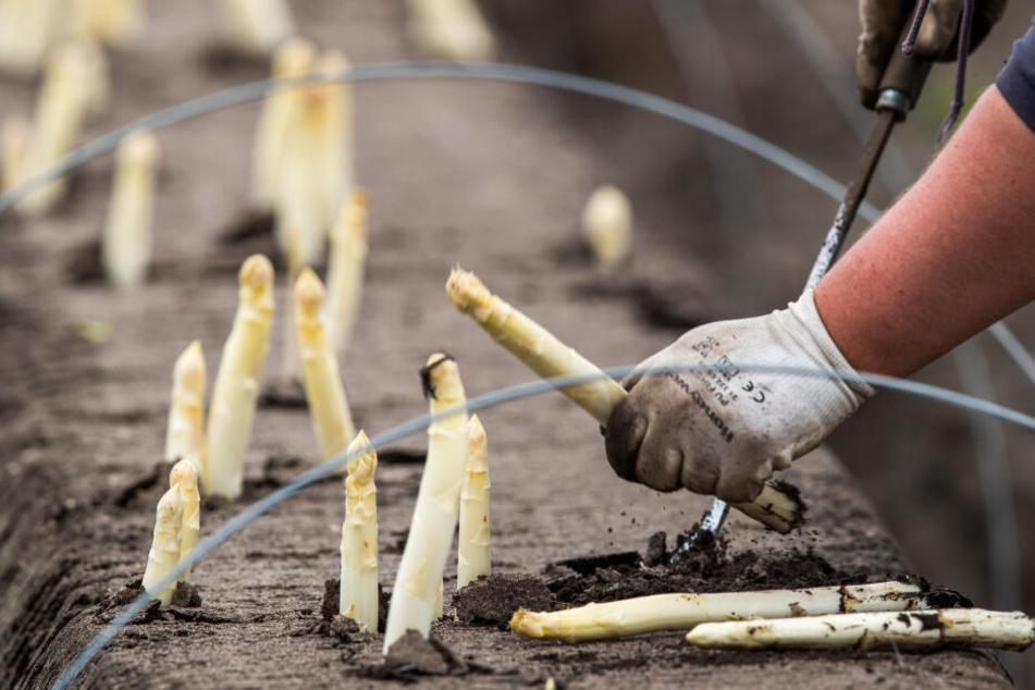 Helfer ernten auf einem Feld den ersten Spargel der Saison. Inzwischen ist wegen der kühlen Witterung das Wachstum ins Stocken geraten.