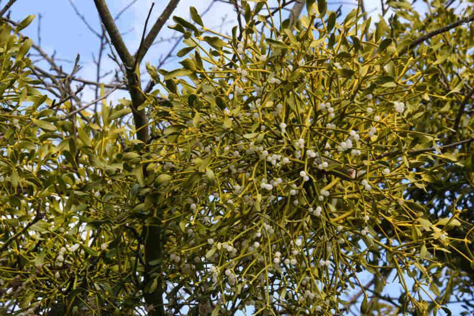 Die Weißbeerige Mistel sind in ganz Europa verbreitet. Sie gedeiht auf Laubbäumen wie zum Beispiel Apfelbäumen, Linden, Ahornen, Birken, Pappeln, Robinien, Weiden, Hainbuchen und Weißdorn.