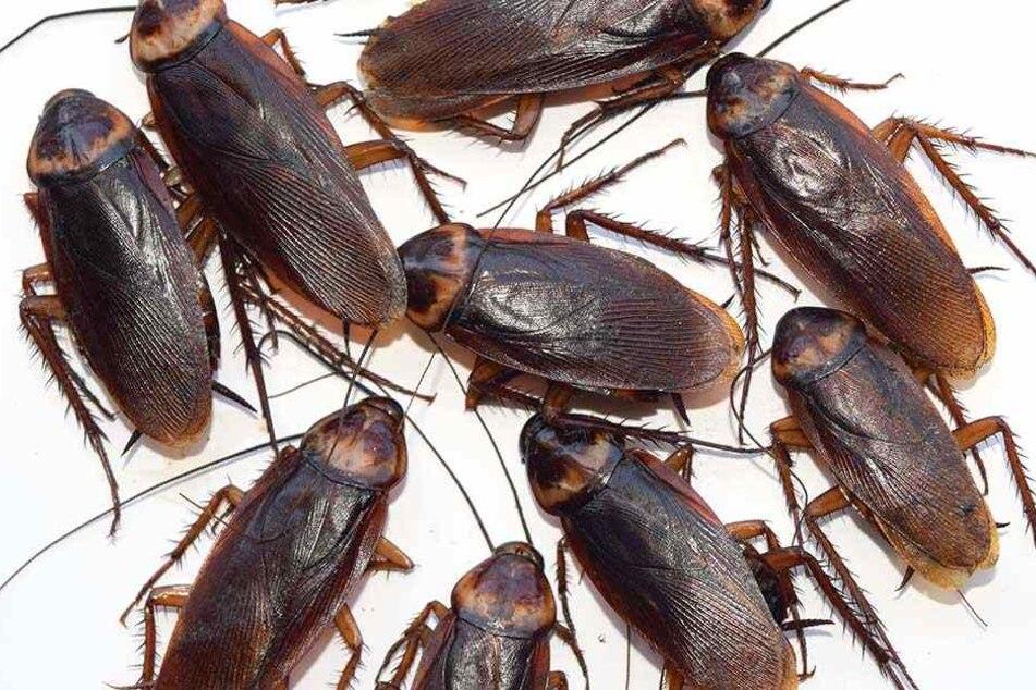 Kakerlaken vermehren sich rasend schnell und sind extrem widerstandsfähig, die Folgen, wenn sie ausbrechen würden, sind nicht ausmalen.