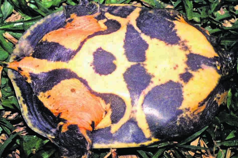 So sieht sie aus, die neu entdeckte Flecken-Weichschildkröte (Pelodiscus variegatus).