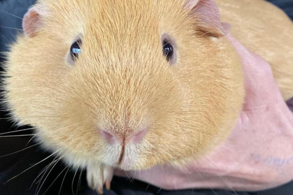 Dickes Meerschweinchen sucht neues Zuhause: Partnerin kann gerne mollig sein