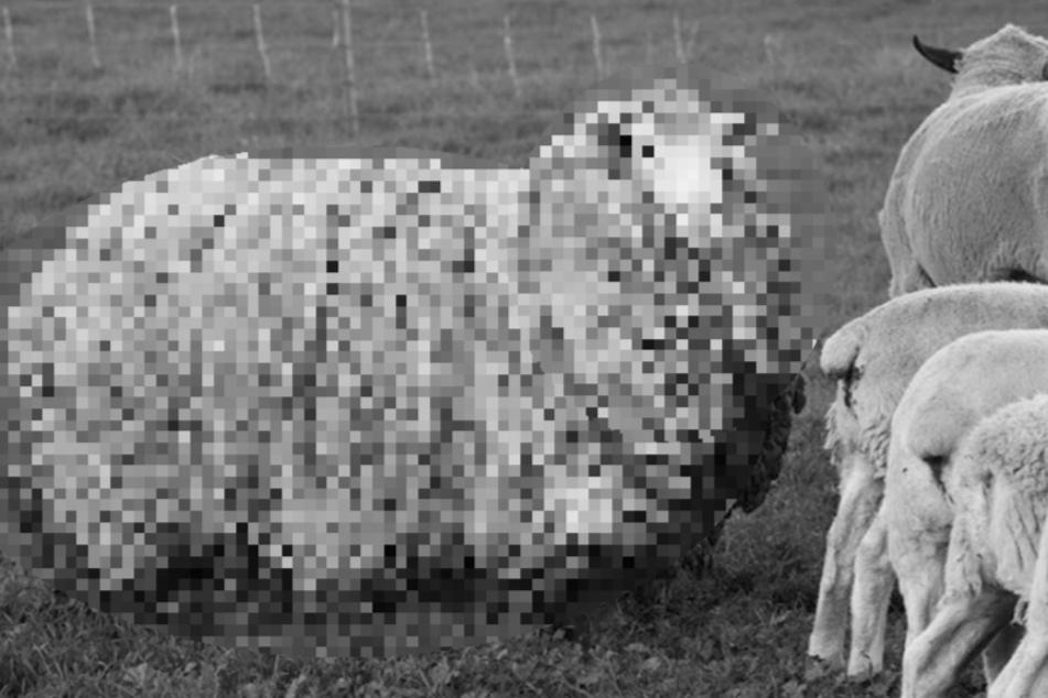 Schaf nach sieben Jahren aufgetaucht: So sieht es jetzt aus!