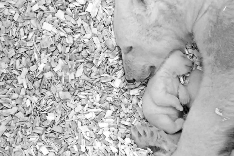 Das kugelige Eisbärenbaby aus dem Berliner Tierpark hat Silvester gut überstanden.