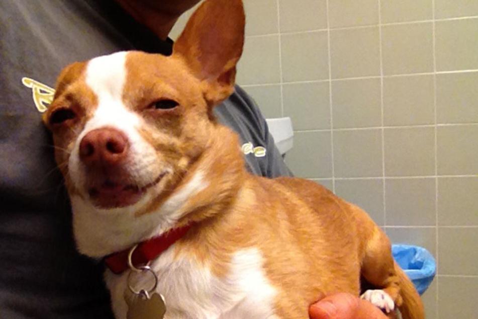 Der kleine Peanut hat sich heimlich einen Haschkeks gegönnt. Das Internet feiert den zugedröhnten Hund.