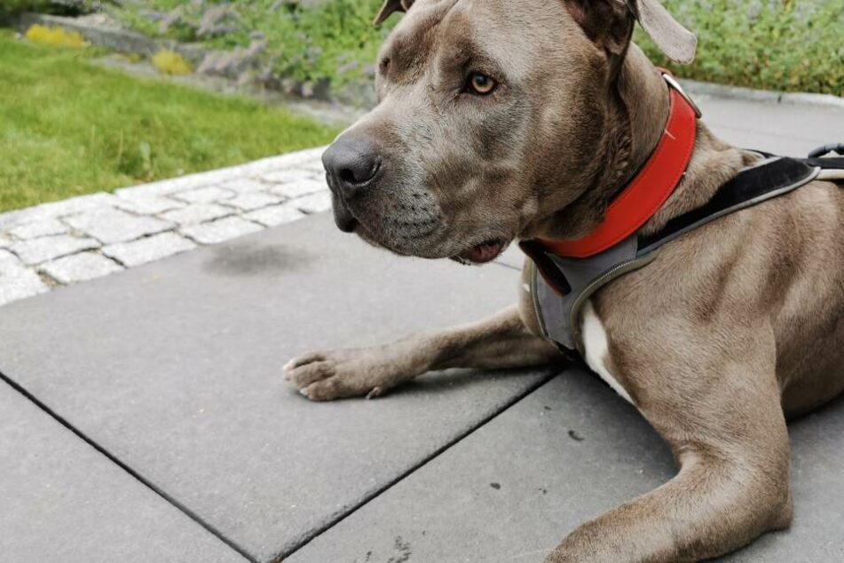"""Hunde der """"Kategorie 2"""" dürfen in Bayern nur gehalten werden, wenn ein Gutachten beweist, dass sie nicht aggressiv sind."""