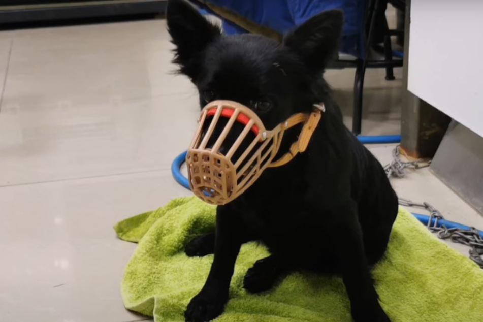 Der Hund neigte auch bei Tierarzt dazu zu beißen, bekam deshalb einen Maulkorb.