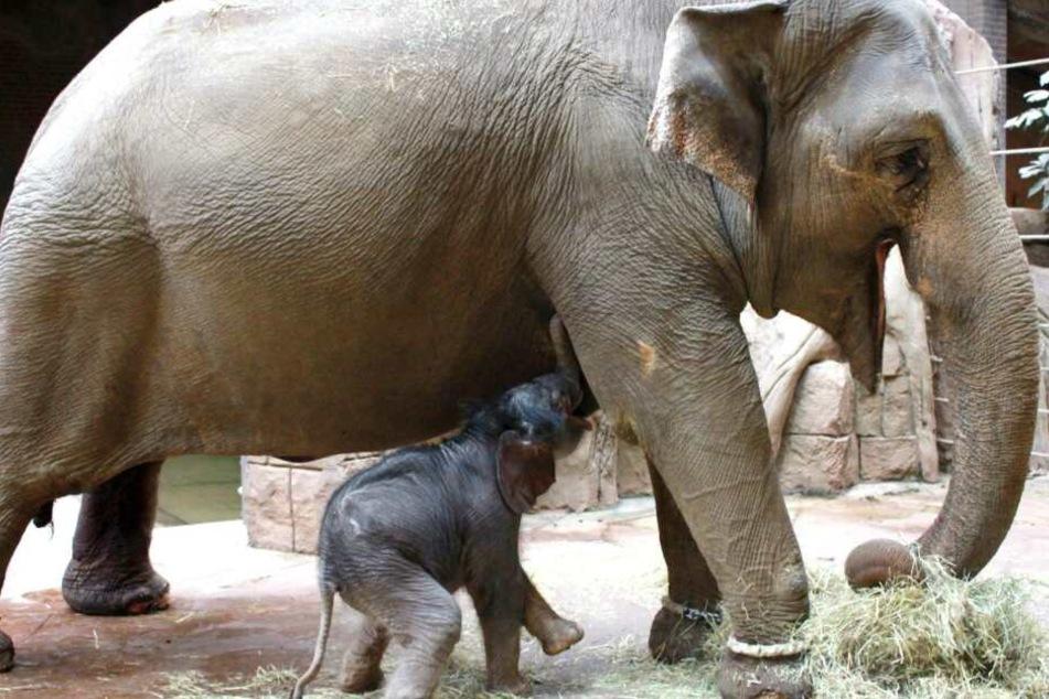 Abwechselnd bekommt der kleine Dickhäuter Milch von der Mutter und Ersatznahrung.