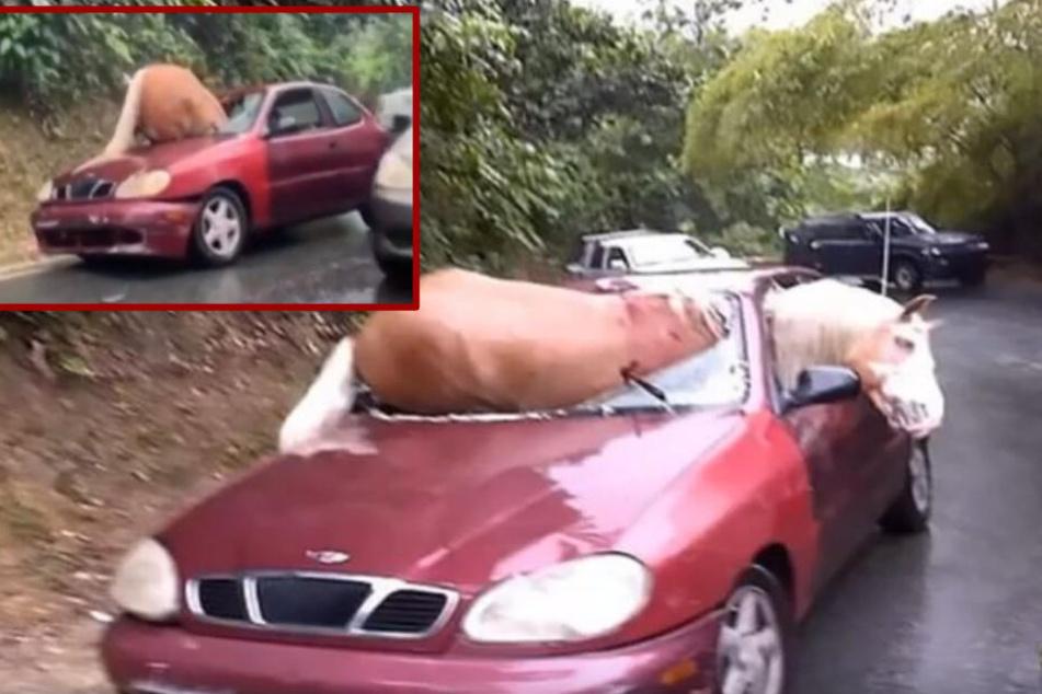 Horror-Unfall: Plötzlich liegt ein Pferd in dem Auto!