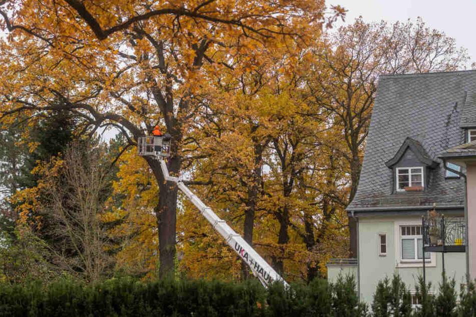 Das Ende für eine 150 Jahre alte Stieleiche: Arbeiter sägten am Küchwaldring zuerst die Krone ab.