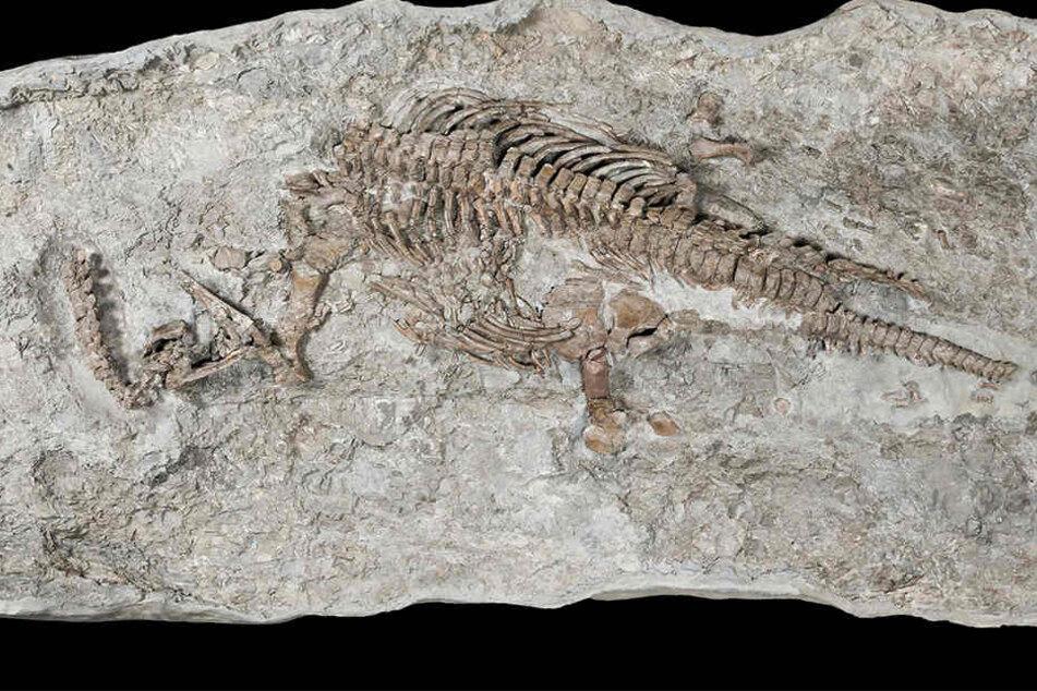 Das Skelett eines Plesiosauriers wird im Museum für Naturkunde in Münster ausgestellt.