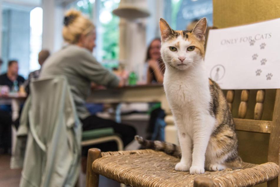 Türsteherin: Eine Katze in Hamburgs erstem Katzencafé.
