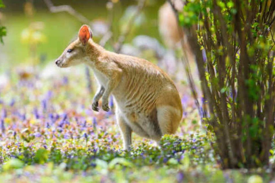 Ausgebüxtes Känguru wieder da, doch ihr Baby bleibt verschwunden