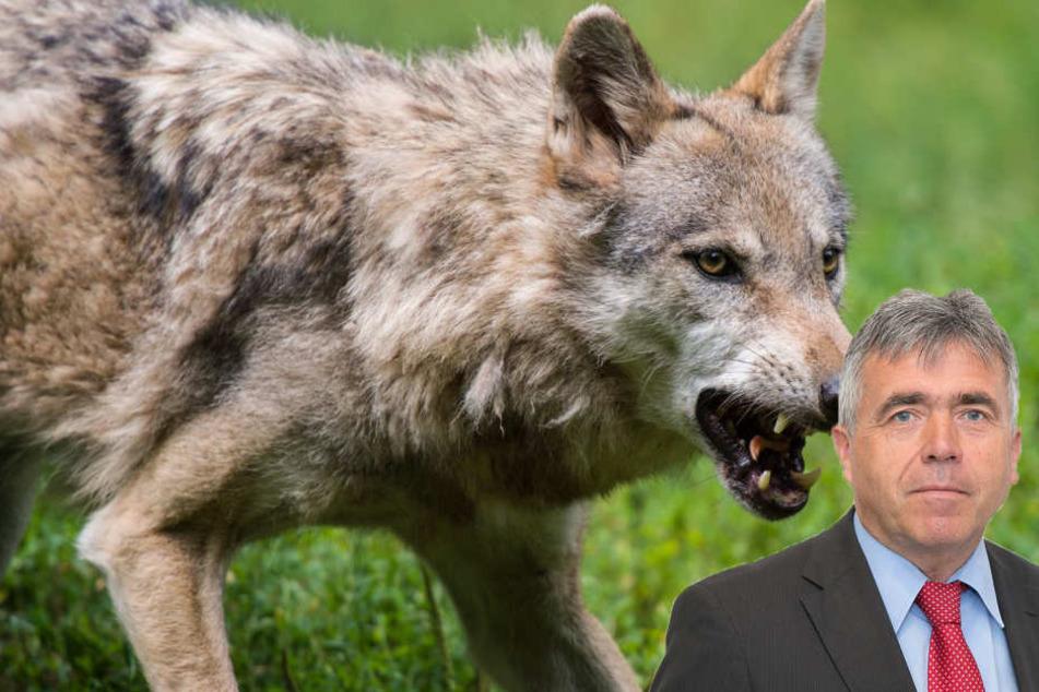 Erster Sachsen-Landrat will Wolfsrudel erschießen lassen