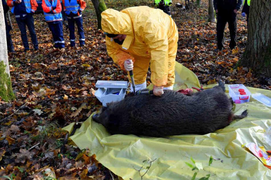 Polnische Veterinärbehörden trainieren bei einer Notfallübung für das Auftreten der Afrikanischen Schweinepest (ASP).