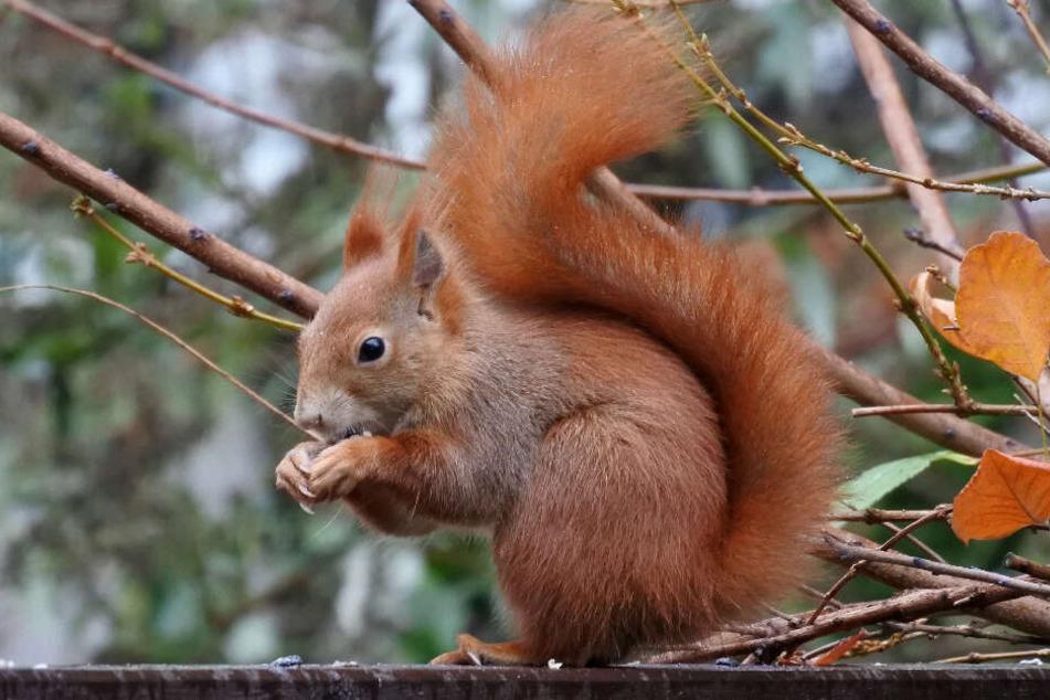 Sonnenblumenkerne, Hasel- und Walnüsse sind gut für Eichhörnchen.
