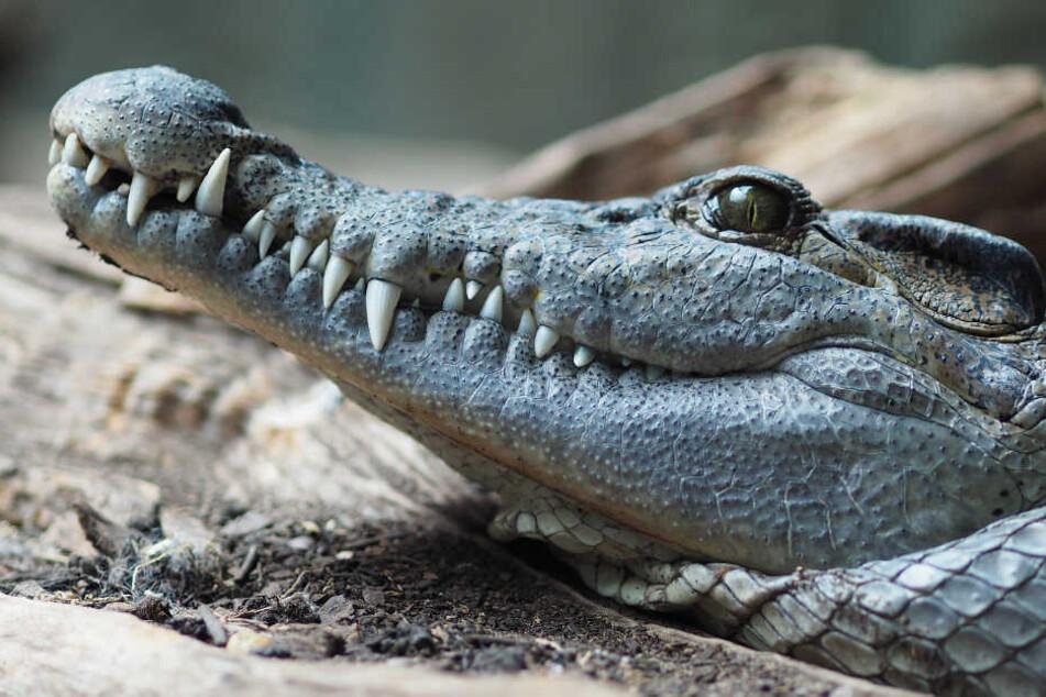 Ein Philippinen-Krokodil wurde im Zoo Zürich erschossen. (Symbolbild)