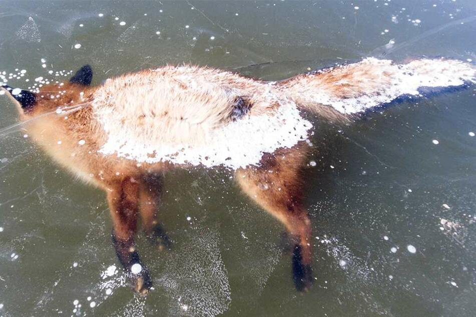 """Dieser """"Eisfuchs"""" überlebte seinen Ausflug über den Niederteich in Elstra nicht."""