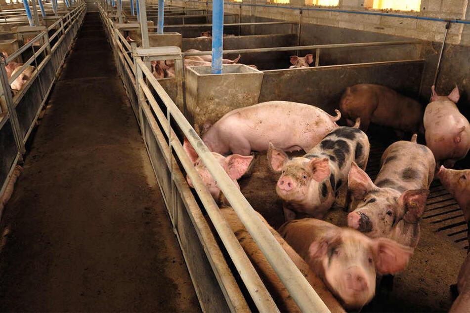 Viele Schweine haben nach Ansicht des Oberverwaltungsgerichts Magdeburg zu wenig Platz. (Symbolbild)