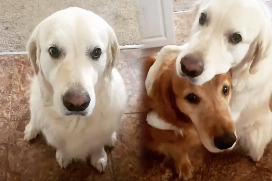 Hund frisst anderem Vierbeiner Leckerli weg, dann muss er sich entschuldigen