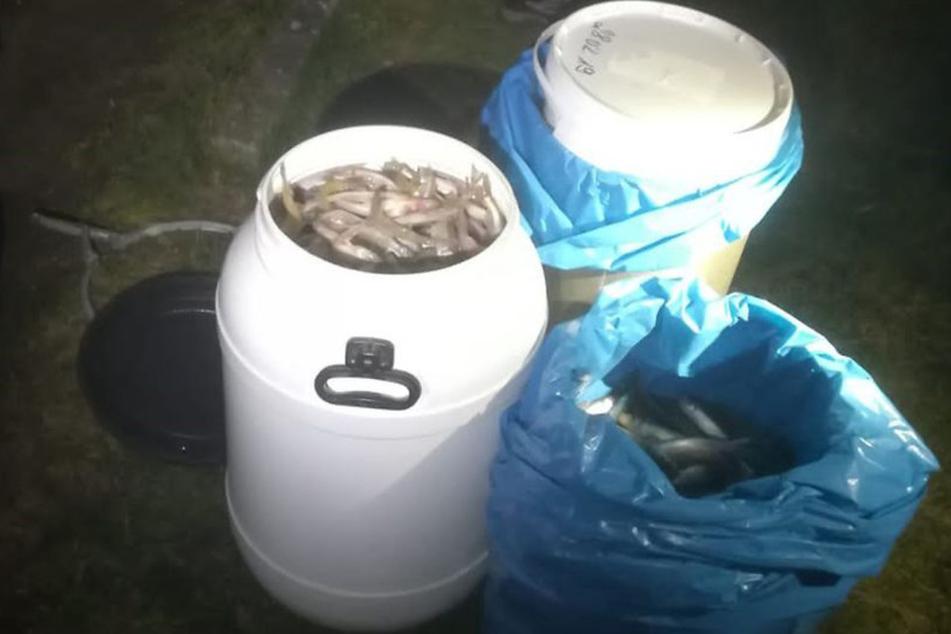 Die Behörde stellte die illegal gefischten Stinte sicher.