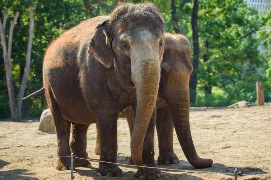 Berlins ältester Elefant Tanja musste eingeschläfert werden.