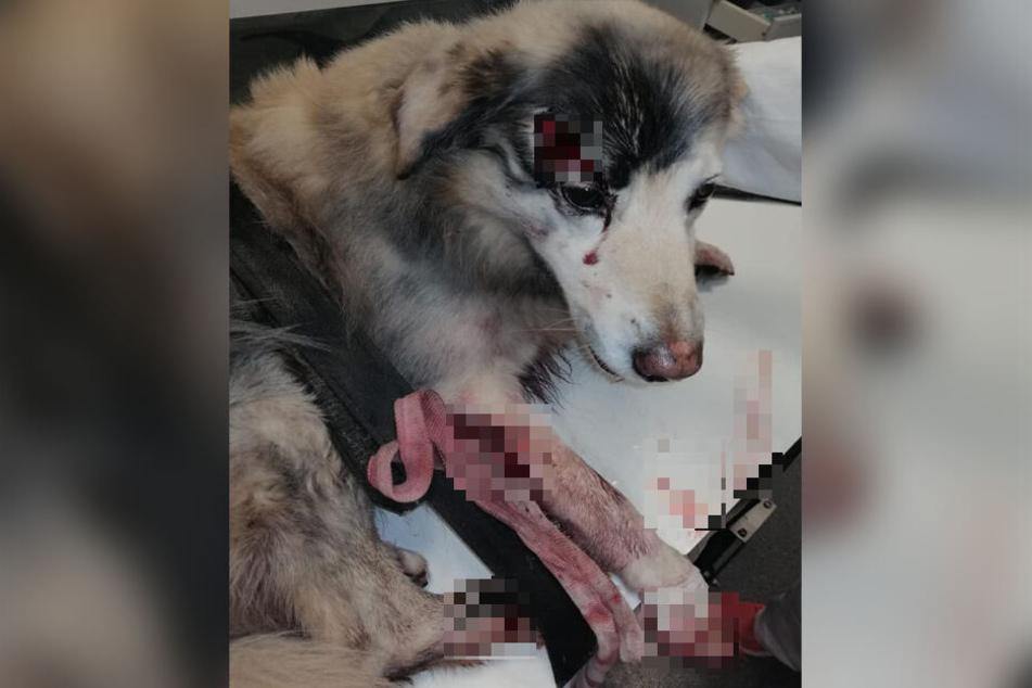 Mit offener Wunde über dem rechten Auge und blutverschmierten Fell am ganzen Körper liegt der angefahrene Hund in der Leipziger Tierklinik.