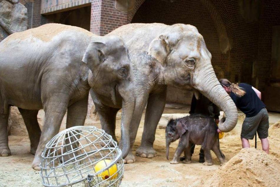Besonders bei Tante Don Chung (r.) fühlt sich der kleine Bulle wohl. Die 36-Jährige und Rani (8) sollen die Fürsorge übernehmen, da Mutter Hoa (33) kein Interesse an ihrem Jungtier zeigt.