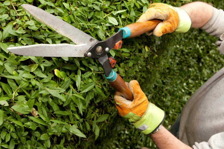 Vom 1. März bis 30. September sind Haus- und Grundstücksbesitzer nicht dazu verpflichtet, ihre Hecken zu schneiden. (Symbolbild)