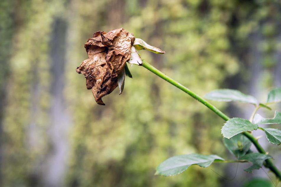 In Bad Langensalza müssen über 6000 Rosenstöcke entfernt werden. (Symbolbild)