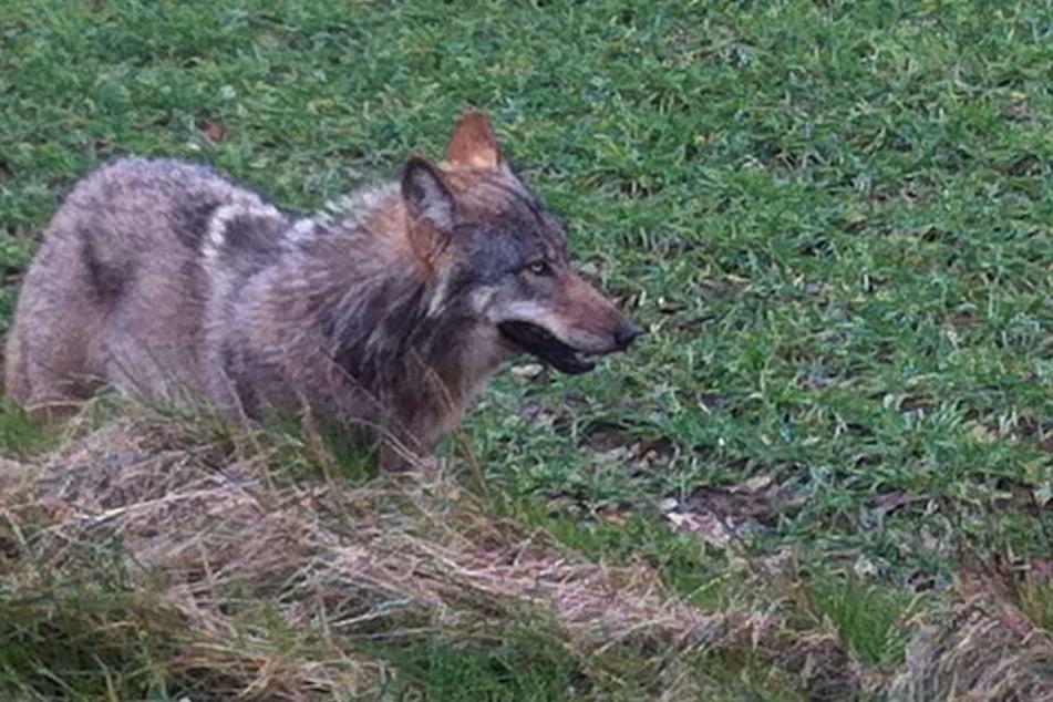 Der Wolf mit der Kennung GW717 versetzt eine ganze Region in Angst und Schrecken.