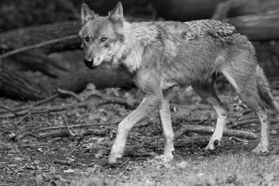 Polizist erschießt verletzten Wolf