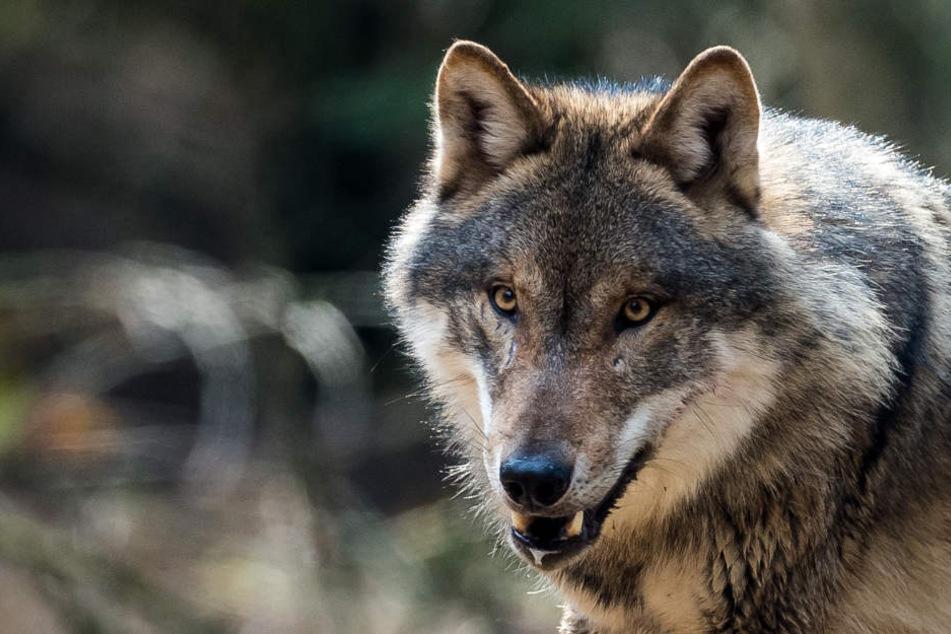 Bund und Länder müssen, laut CDU, den strengen Schutzstatus der Wölfe aufheben. (Symbolbild)