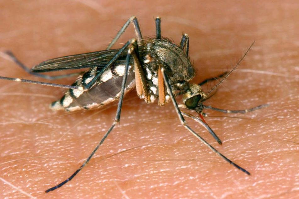 Das Virus wird hauptsächlich von Mücken übertragen.
