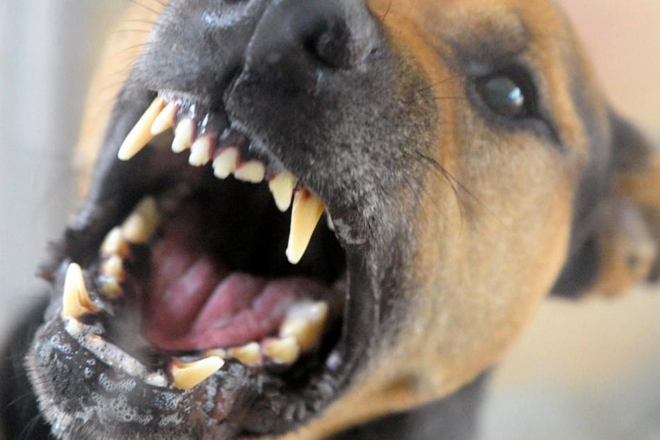 Ein Staffordshire Terrier Labrador Mix griff das Kind an und verletzte sie im Gesicht schwer. (Symbolbild)